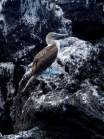 Blue Footed Booby, Isabela Island